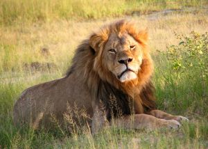"""Cecil the lion at Hwange National Park (4516560206)"" by Daughter#3 - Cecil. Licensed under CC BY-SA 2.0 via Wikimedia Commons - https://commons.wikimedia.org/wiki/File:Cecil_the_lion_at_Hwange_National_Park_(4516560206).jpg"