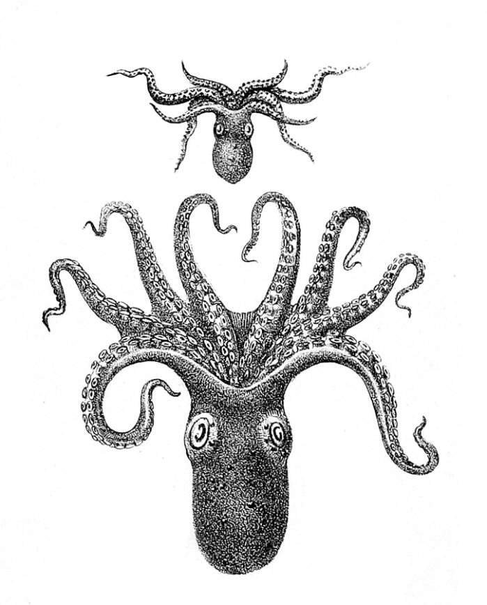 Octopus_vitiensis