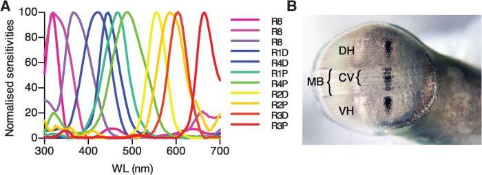 mantis shrimp spectral sensitivity