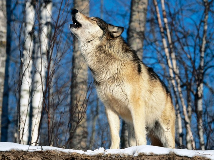 Morning_Howl,_Howling_Wolf