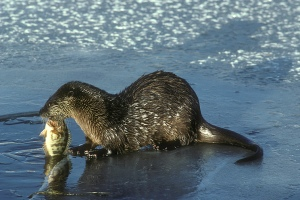 River_Otter_with_Fish_(5711531594)