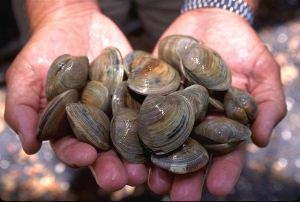 littleneck_clams_usda96c1862