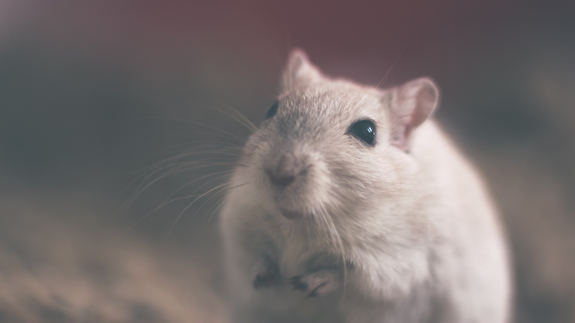 mouse-801843_1920