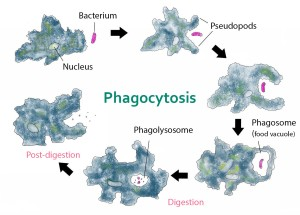 Phagocytosis_--_amoeba