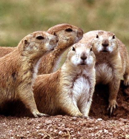 Prairie-Dogs