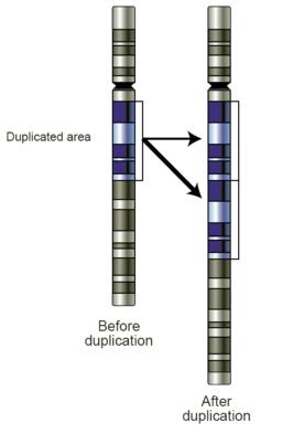 256px-Gene-duplication.png