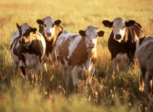 Cattle_herd