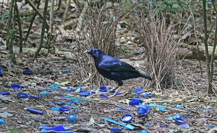 On bowerbirds, process, and happiness.
