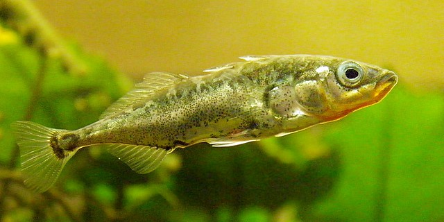 A photograph of a three-spined stickleback fish.