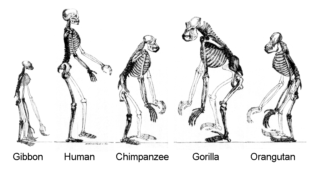 Image shows the upright skeletal postures of gibbons, humans, chimpanzees, gorillas, and orangutans.